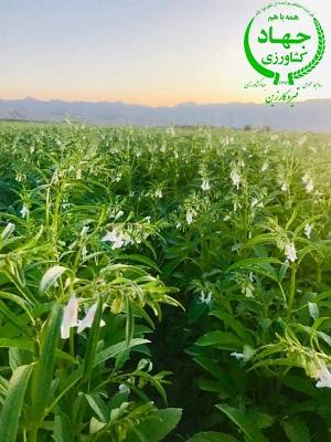 بزرگ ترین مزرعه کنجد فارس در قیروکارزین