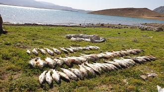 افزایش تولید ماهیان گرمابی در قیروکارزین