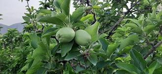 سیب تُرش قیروکارزین برداشت می شود