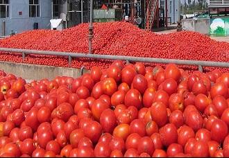 آغاز خرید حمایتی گوجه فرنگی در قیروکارزین