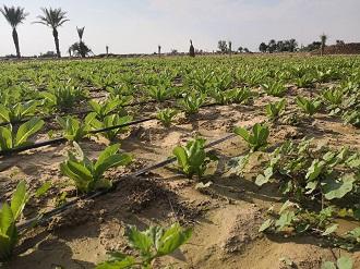 پیش بینی تولید 27 هزار تن کاهو در قیروکارزین